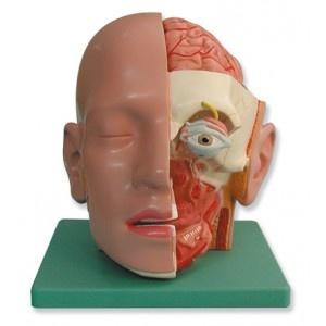 Foto de Modelos anatómicos