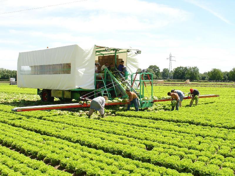 Foto de Recolectoras de hortalizas