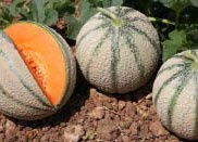Foto de Semillas de melón Charentais