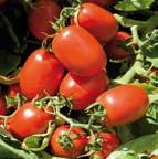 Foto de Semillas de tomate de industria