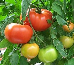 Foto de Semillas de tomate de calibre grueso