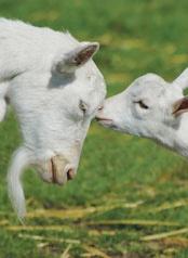 Foto de Soluciones informáticas para el sector caprino
