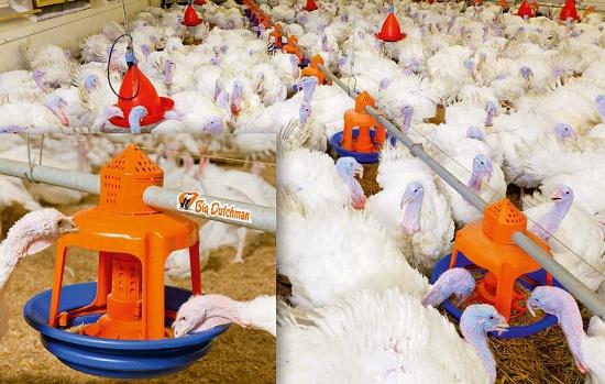 Foto de Platos comederos para cría y engorde de pavos
