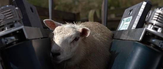 Foto de Soluciones de identificación para ovejas
