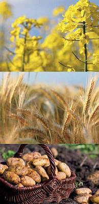 Foto de Fungicida a base de azoxistrobin autorizado en cereal, colza y patata