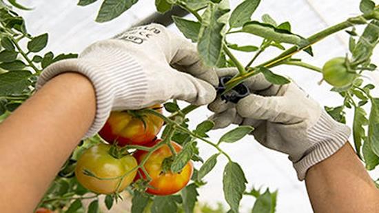 Foto de Clips para tomate