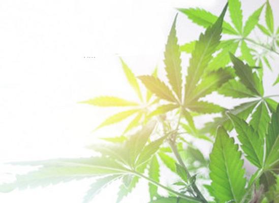 Foto de Reducción de carga microbiana en cannabis medicinal