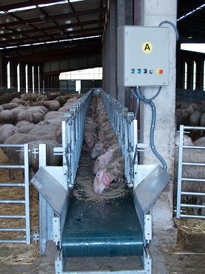 Foto de Cinta de alimentación para ovino y caprino