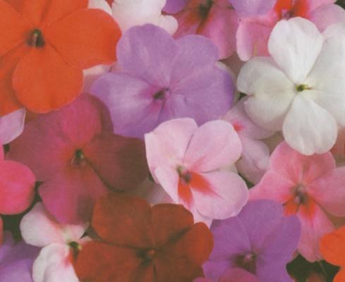 Plantas ornamentales impatiens impreza viveros pereira for Viveros ornamentales