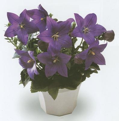 Plantas ornamentales platycodon jardiner a plantas for Plantas ornamentales