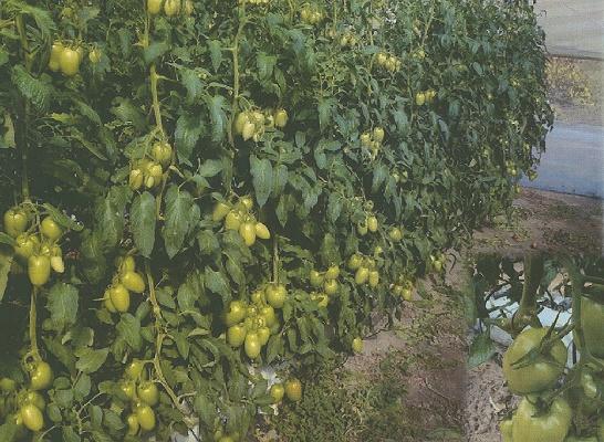 Foto de Semillas de tomate Pera