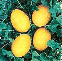 Foto de Semillas de Melón amarillo