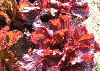 Foto de Batavia roja Rosemoor