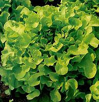 Foto de Semillas de lechuga de Hoja de roble verde