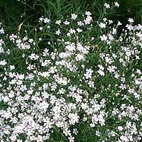 Foto de Gypsophylla repens