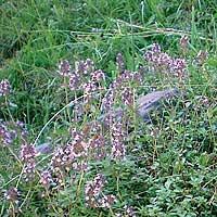 Foto de Thymus serpyllum