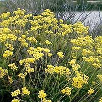Foto de Helichrysum stoechas