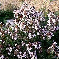 Foto de Thymus vulgaris