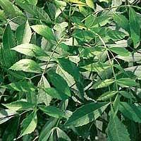 Foto de Fraxinus angustifolia