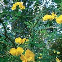 Foto de Colutea arborescens
