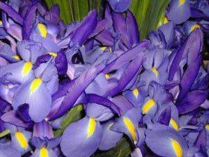 Foto de Flores cortadas de iris