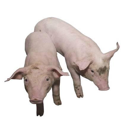 Foto de Equipos para el bienestar de porcino