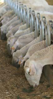 Foto de Equipos para el bienestar ovino