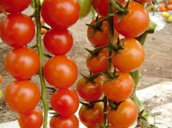Foto de Tomates Cherry