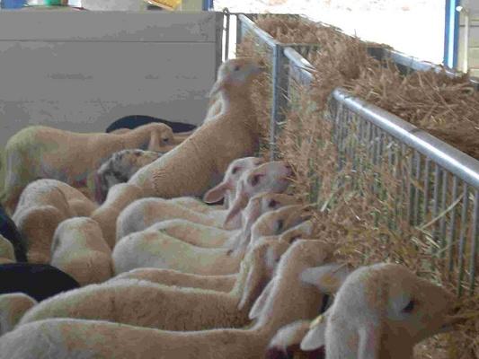 Foto de Forrajeras para ganado ovino