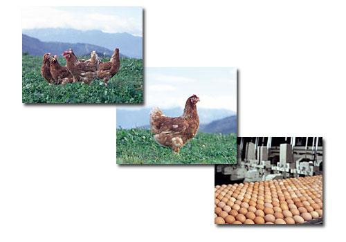 Huevos Pitas, S.A.
