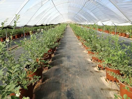 Foto de Sustratos para cultivo sin suelo del arándano