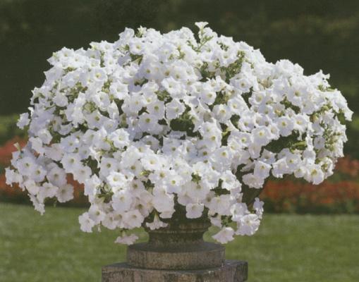 Plantas ornamentales petunia tapizante colgante for Viveros ornamentales